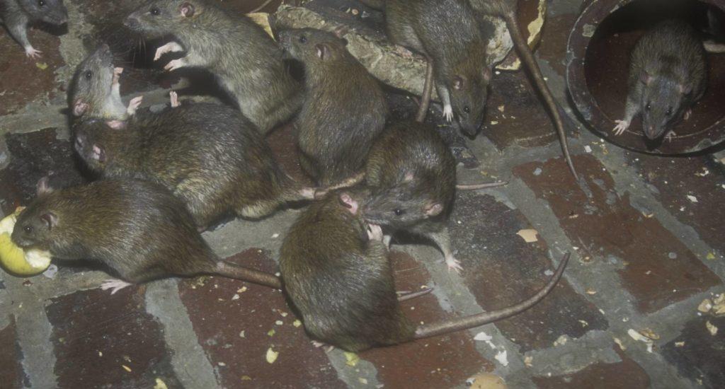уничтожение крыс в Набережных Челнах
